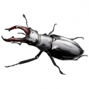 <h5>Illustrations and design for interpretation boards</h5><p>Stag Beetle</p>