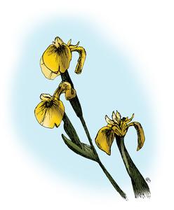 Flag-iris