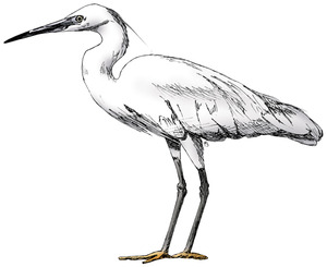 Little-Egret2
