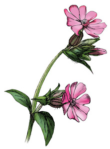 Red-Campion2