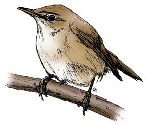 Reed-warbler2